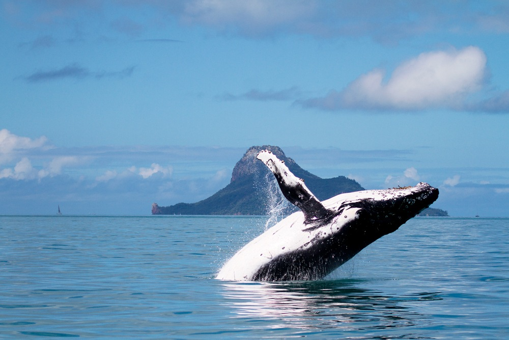 Humpbank whale breaching in front of Pentecost Island in the Whitsundays, Queensland, Australia