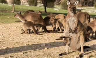 Kangaroos at sunset on Kangaroo Island, Australia