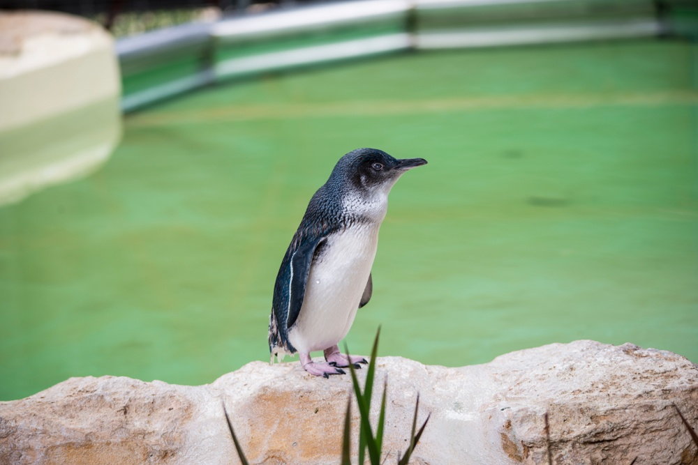 Little Penguin on Penguin Island on the coast of Freemantle, Western Australia