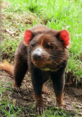 Tasmanian devil standing in the grass at the Tasmanian Devil Unzoo in Taranna, Tasmania, Australia