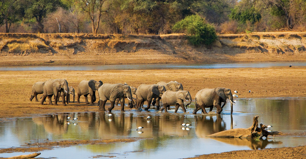 Elephant herd crossing Luangwa River in Zambia