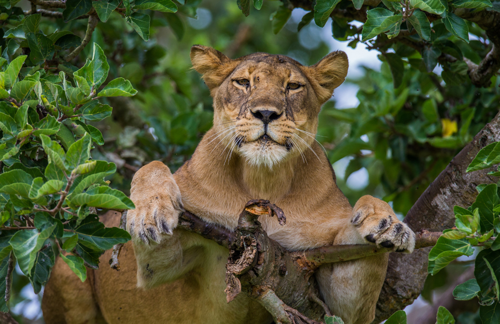Lioness lying on a big tree in Uganda