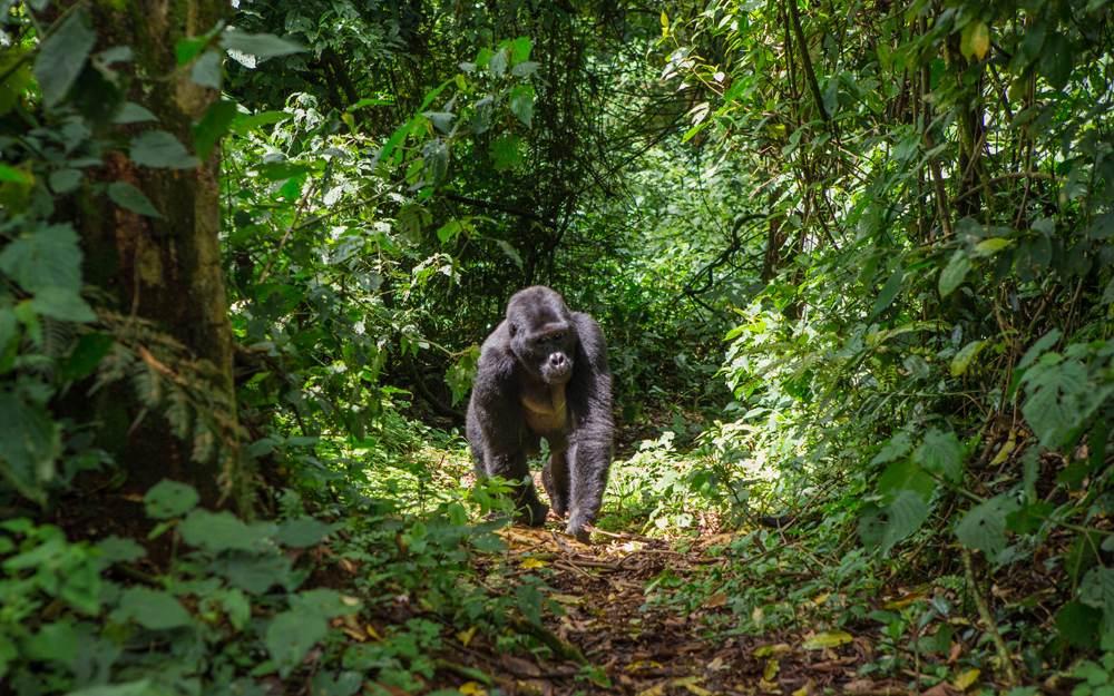 Mountain gorillas in Bwindi Impenetrable Forest National Park, Uganda
