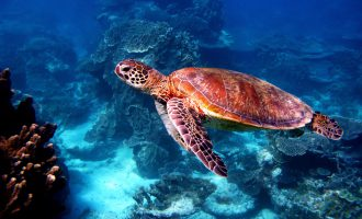 Sea turtle at Great Barrier Reef, Queensland, Australia