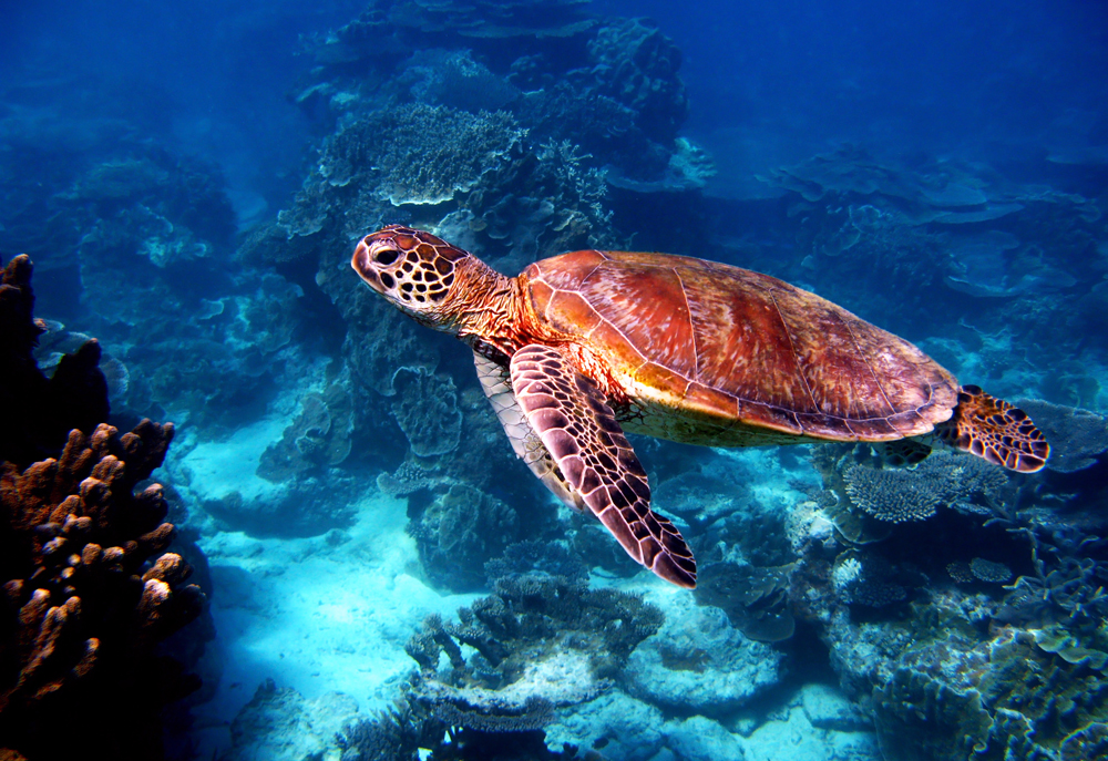 Sea turtle at Great Barrier Reef, Queensland, Australia