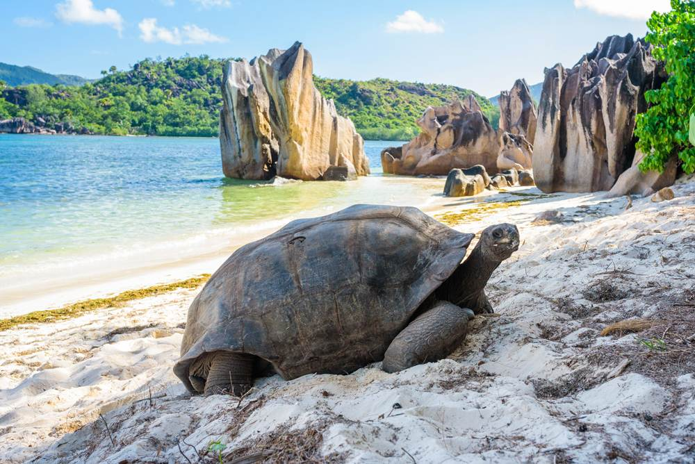Aldabra giant tortoise on a beach near Praslin, Seychelles