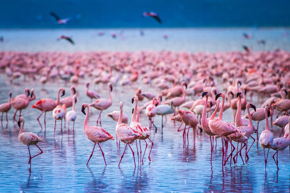 Flock of flamingos at Lake Nakuru, Kenya