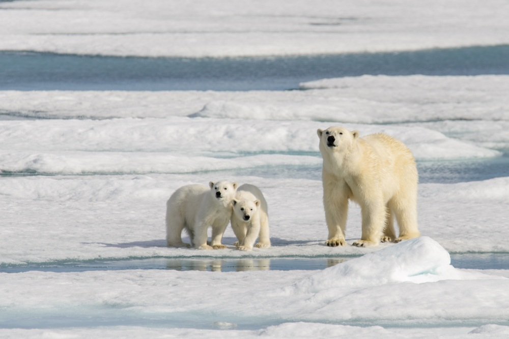 Polar bear mother and twin cubs in the Arctic