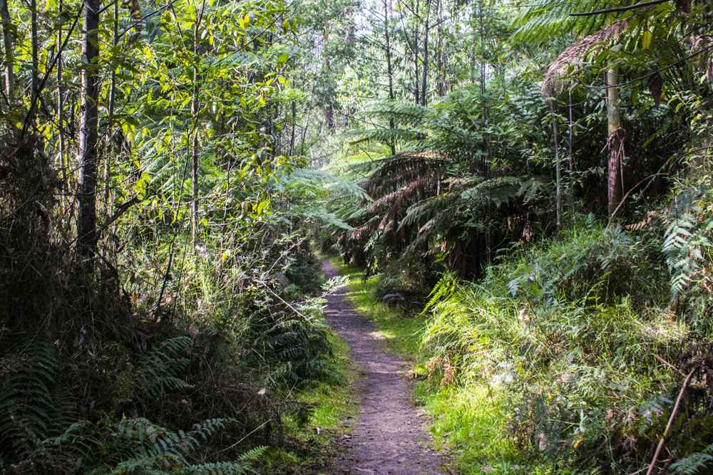 Rain forest trail in Healesville, Yarra Valley, Victoria, Australia
