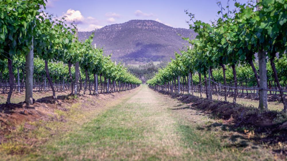 Spring among the vines, Hunter Valley, New South Wales, Australia