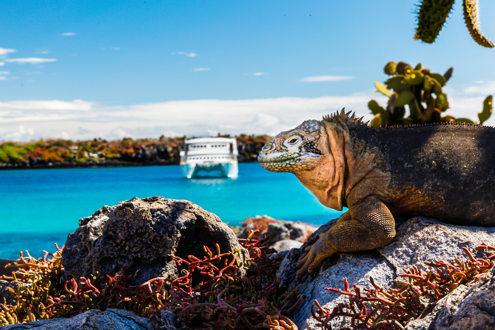 Land iguana with a white boat in the background, South Plaza Island, Galapagos Islands, Ecuador