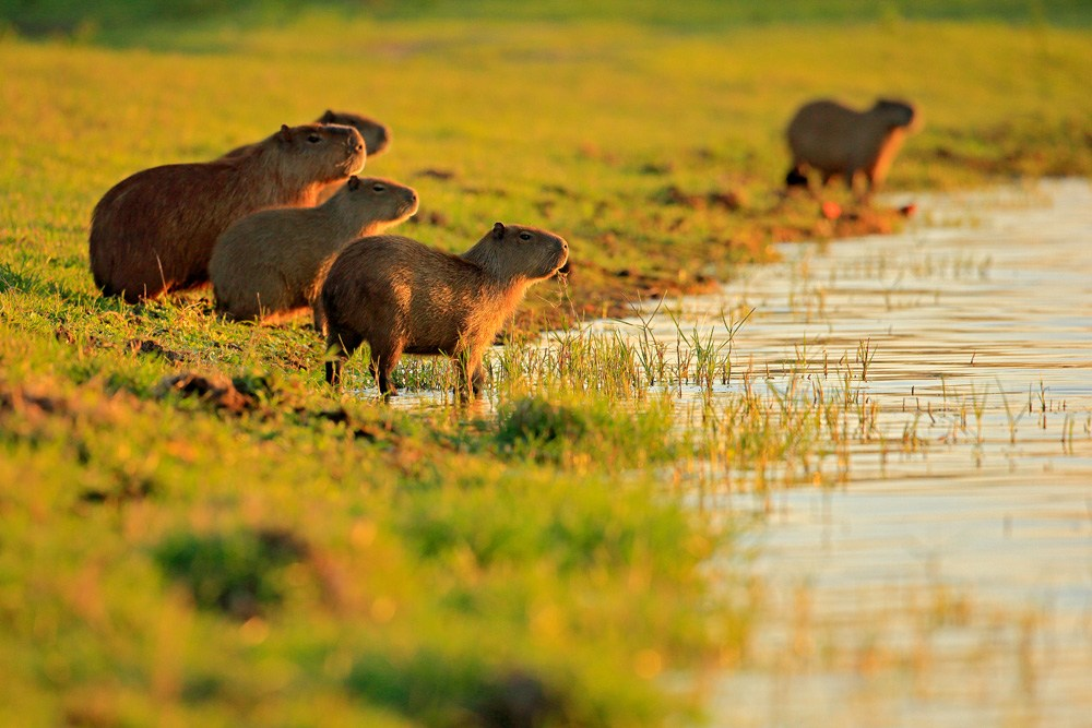 Capybara family during sunset, Pantanal, Brazil