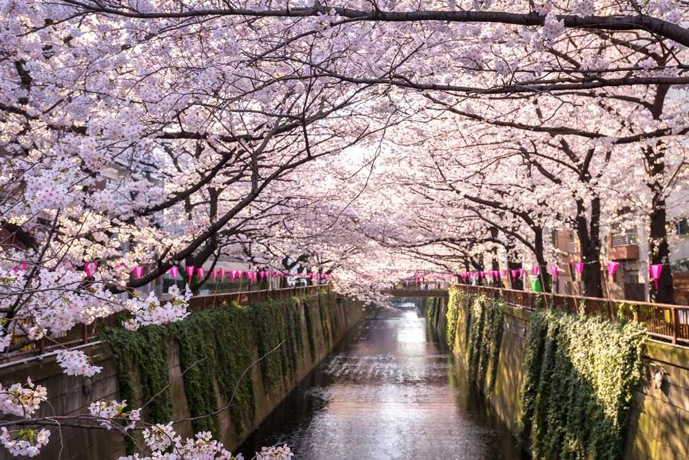 Cherry blossom lined Meguro Canal in Tokyo, Japan