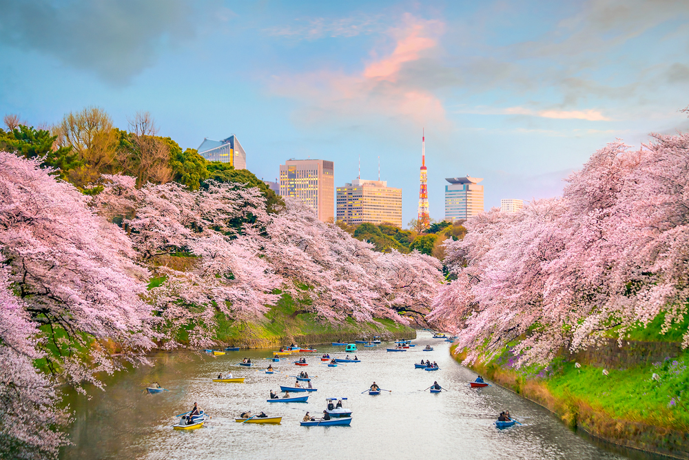 Chidorigafuchi Park in Tokyo during sakura season in Japan