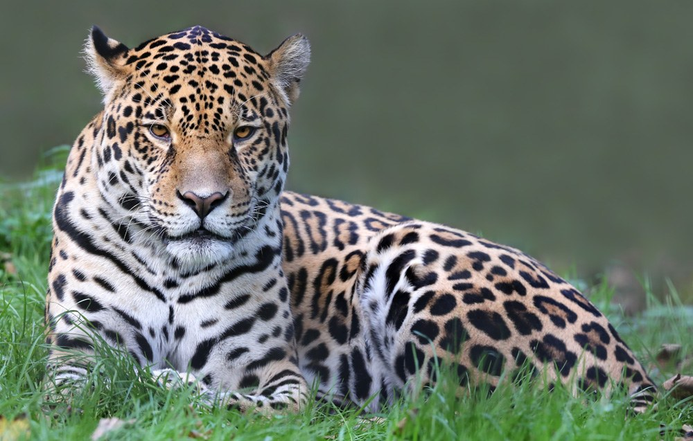 Close up view of a jaguar, South America