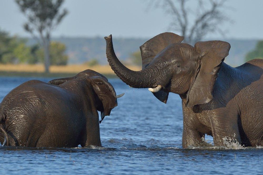 Elephants playing in Chobe river, Botswana