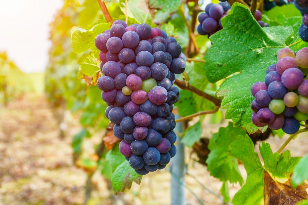 Grapes in champagne region during autumn harvest, Reims, France