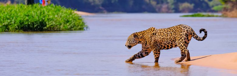 Jaguar observed crossing Cuiaba River, Pantanal, Brazil