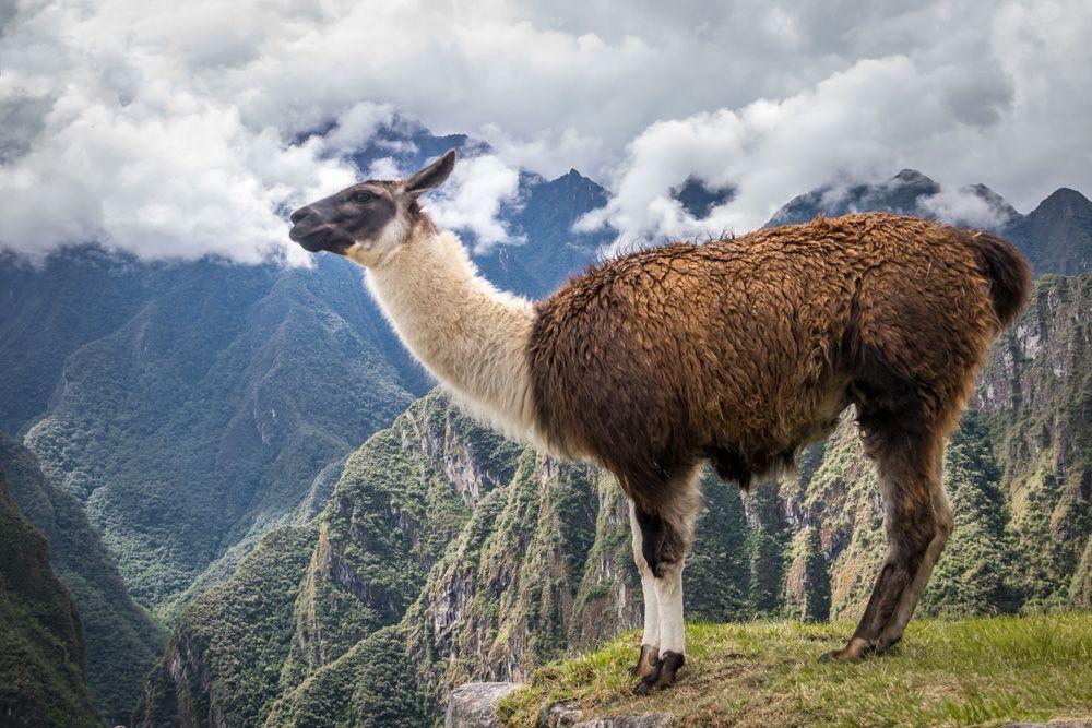 Llama at Machu Picchu, Peru