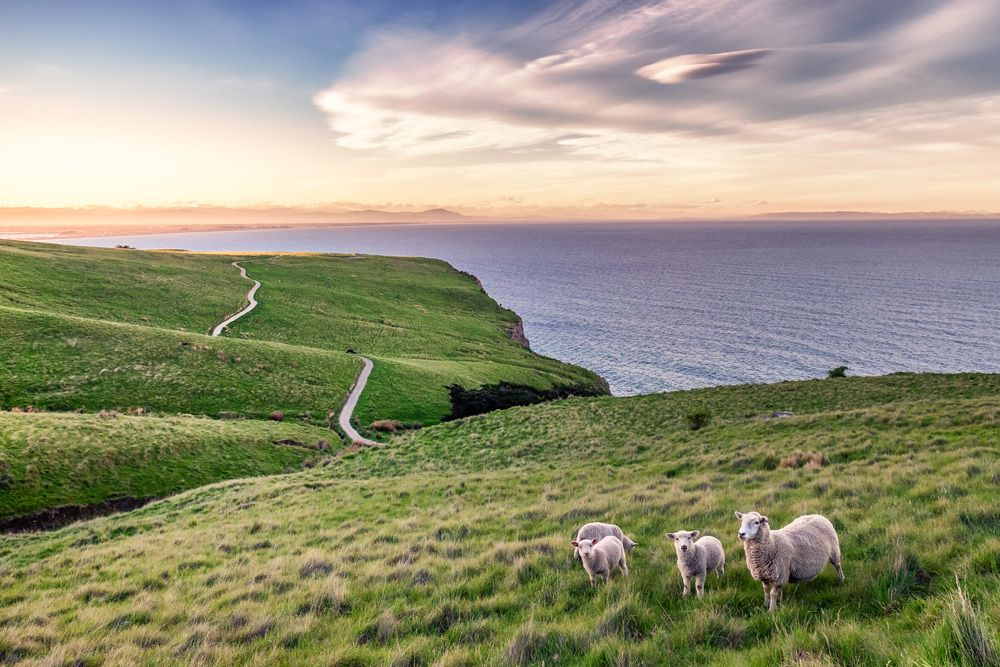 Mother and her lambs along the coastline of Christchurch, New Zealand
