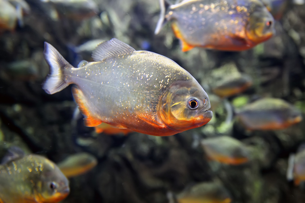 Red-bellied piranha found in the Amazon river, South America