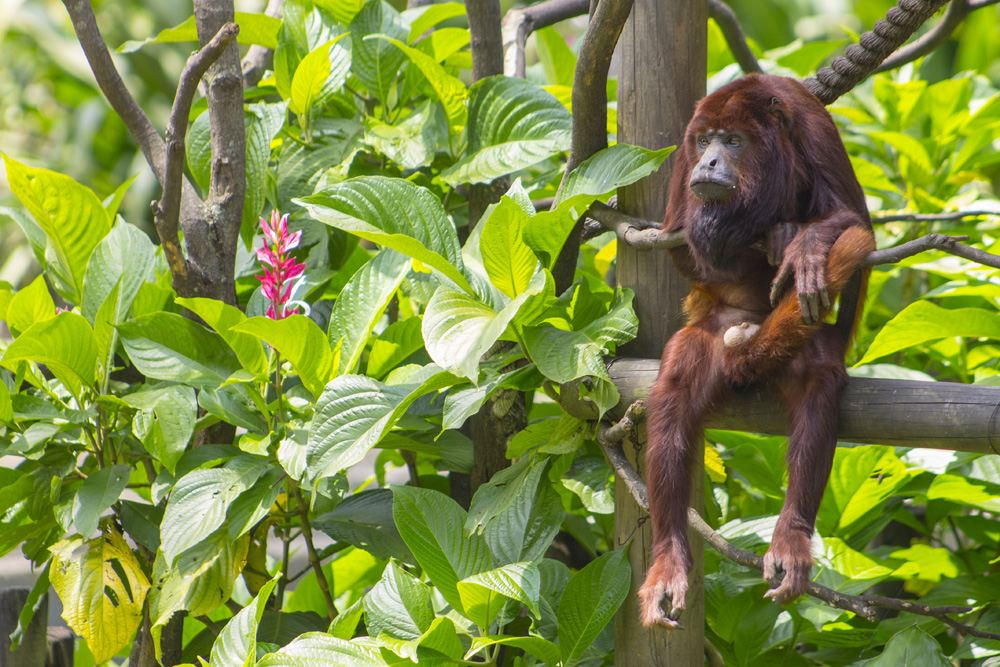 Red howler monkey in Medellin, Colombia