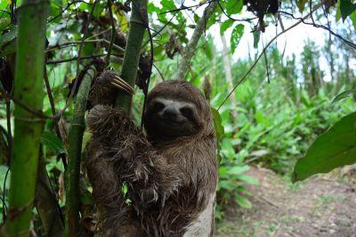 Three-toed sloth in the Amazon jungle, South America