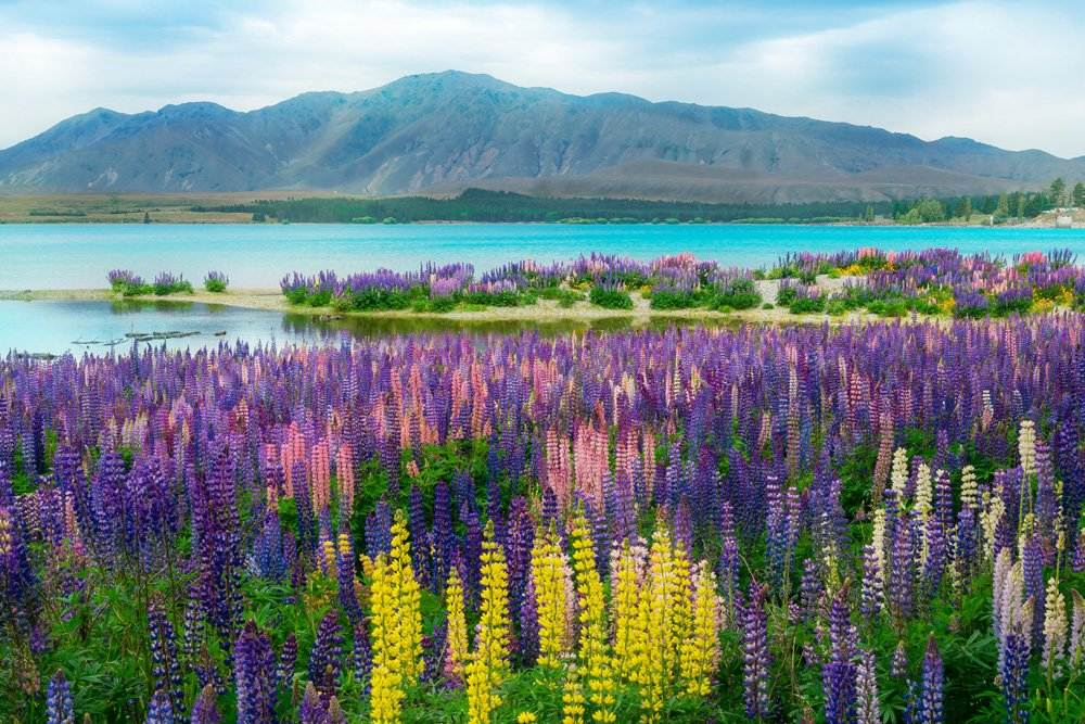 Landscape at Lake Tekapo and Lupin Field in summer, New Zealand