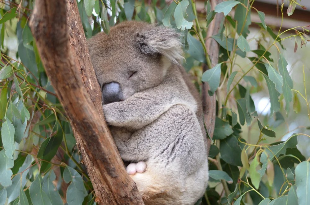 Sleeping koala at Healesville Sanctuary, near Melbourne, Victoria, Australia