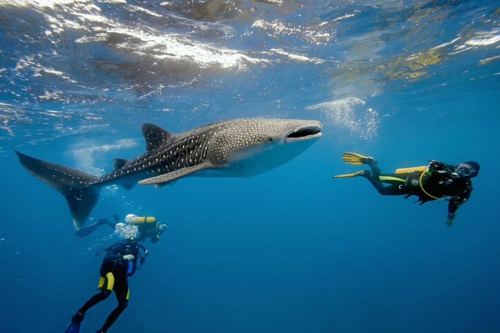Divers photographing a whale shark, Maldives