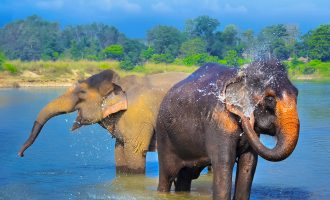Elephants having fun in Chitwan National Park, Nepal cropped