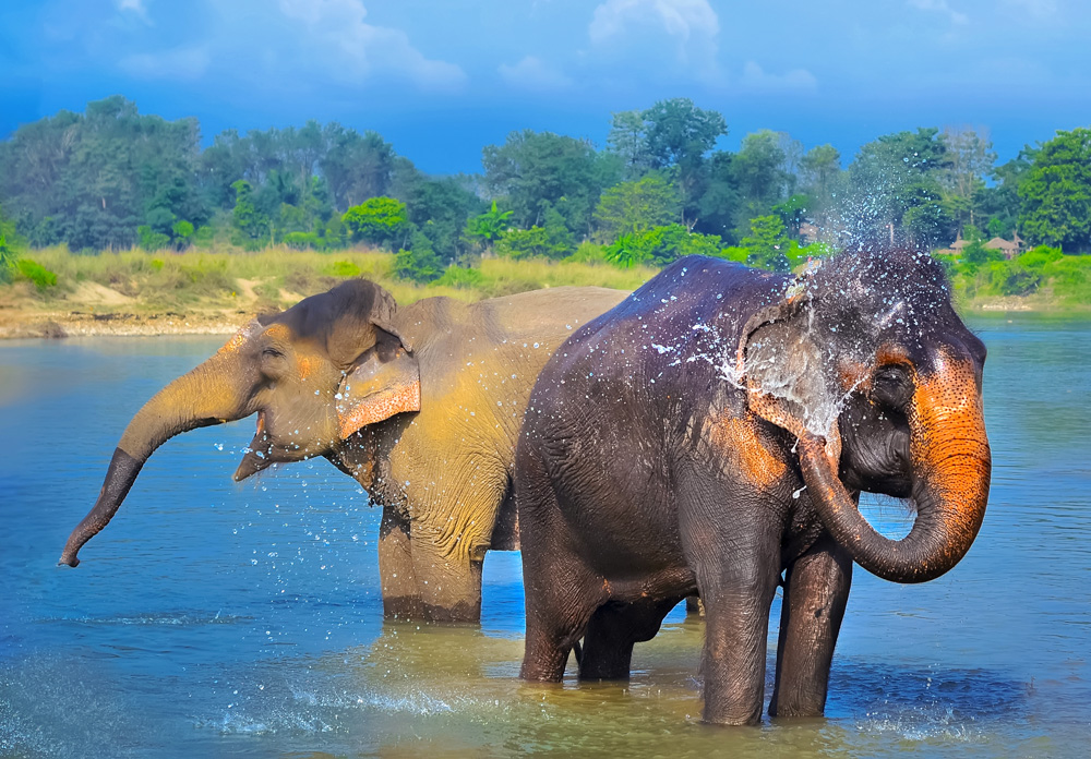 Elephants having fun in Chitwan National Park, Nepal cropped