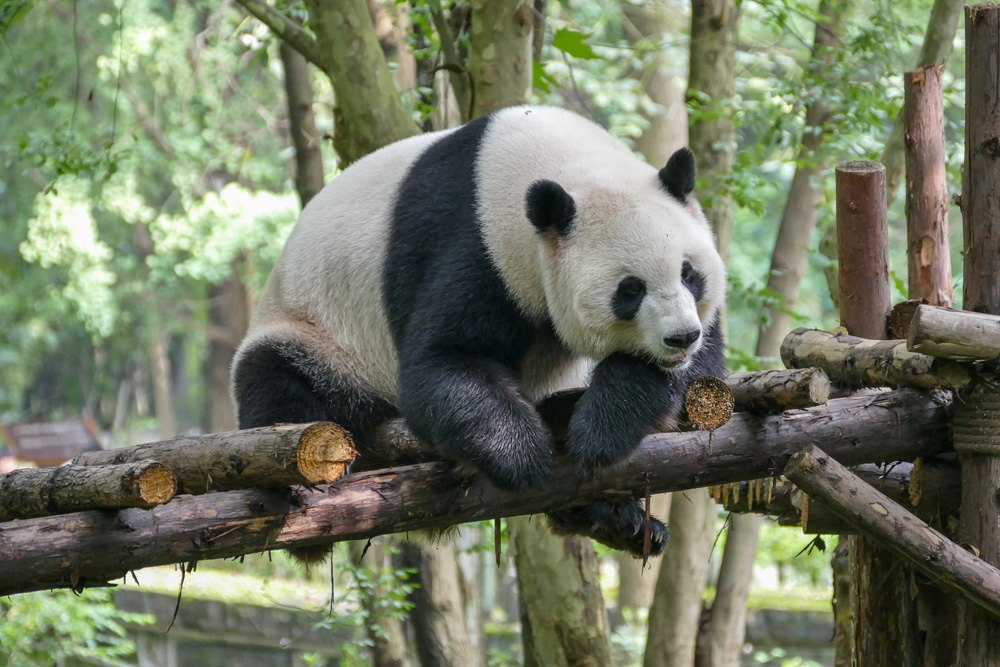 Giant panda at Wolong Nature Reserve, Chengdu, China