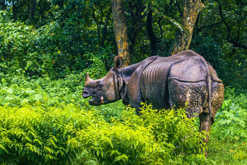 Indian rhino In Chitwan National Park, Nepal
