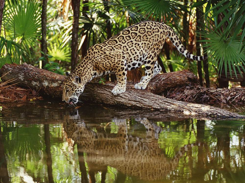Jaguar quenching its thirst, Guyana