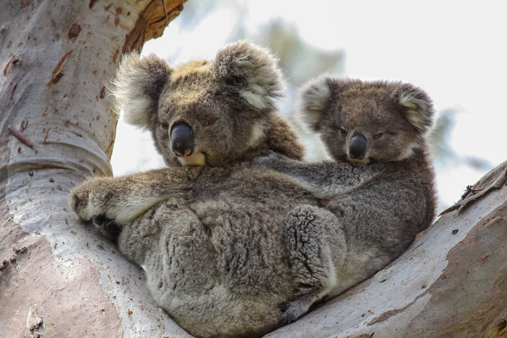 Koala mother with baby joey sitting in a eucalyptus tree in Great Otway National Park, Victoria, Australia