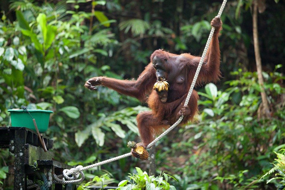 Semenggoh Orangutan Rehabilitation Centre, Kuching, Sarawak, Malaysia