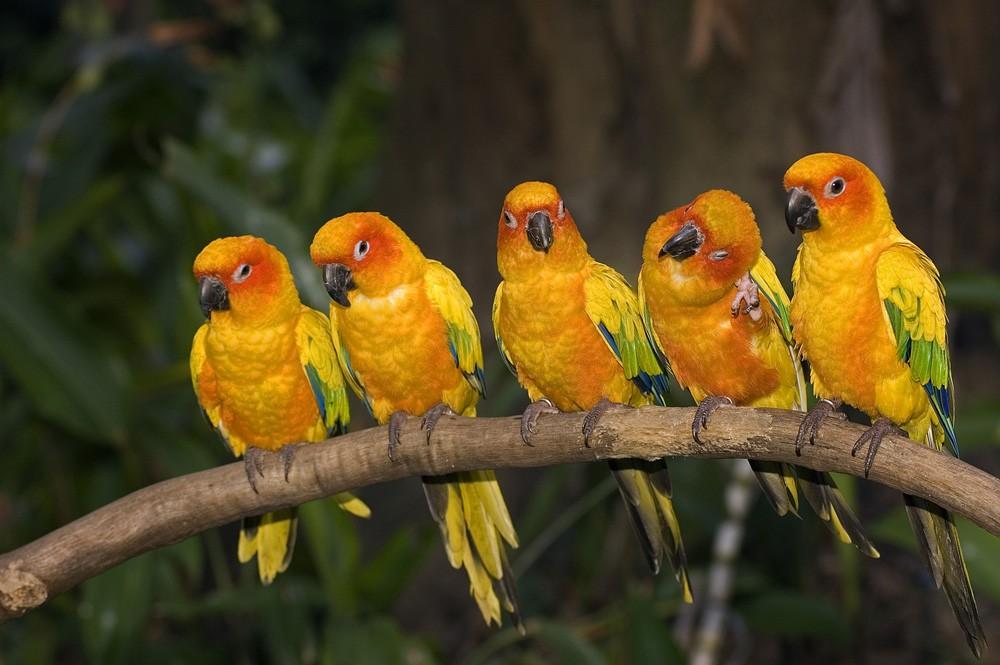 Sun conure parakeets in Jurong Bird Park, Singapore