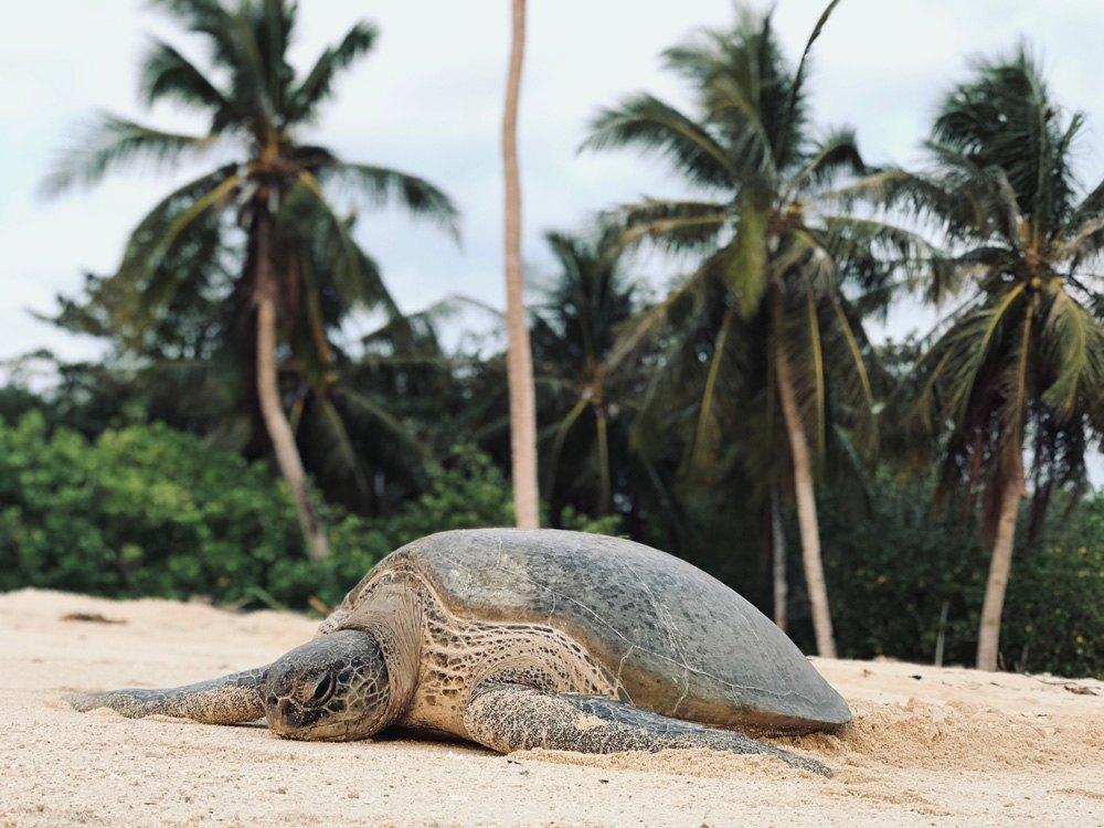 Turtle on Selingan Island, Sandakan, Sabah, Malaysia