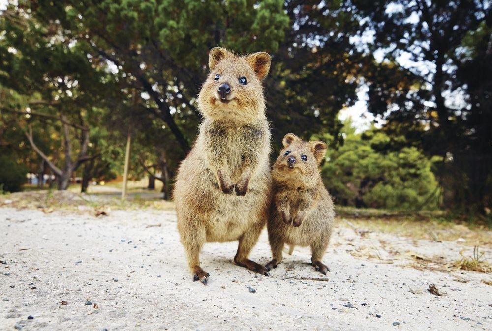 Quokka on Rottnest Island - Tourism Western Australia