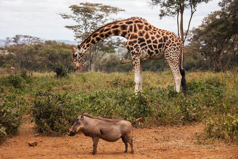 Giraffe and warthog at Giraffe Centre, Nairobi, Kenya