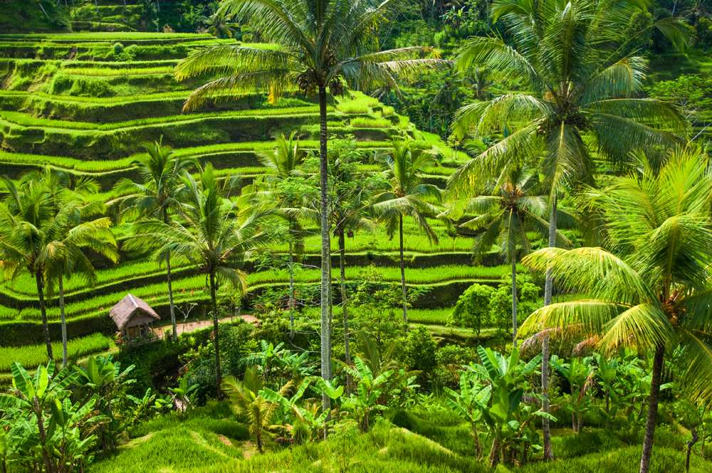 Green terrace rice fields in Ubud, Bali, Indonesia