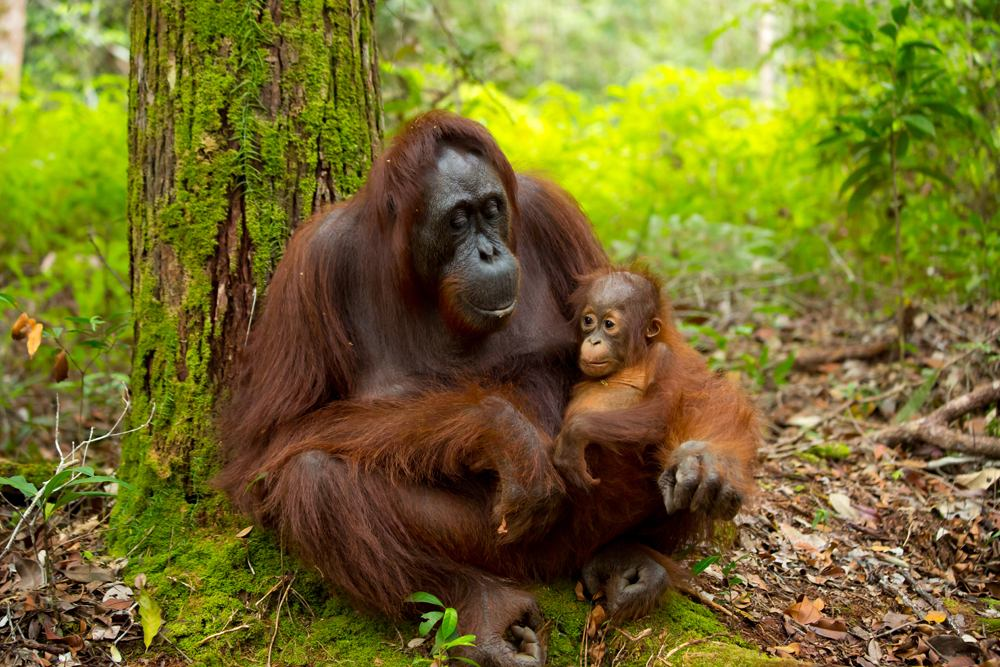Orangutan in the jungle of Borneo, Indonesia