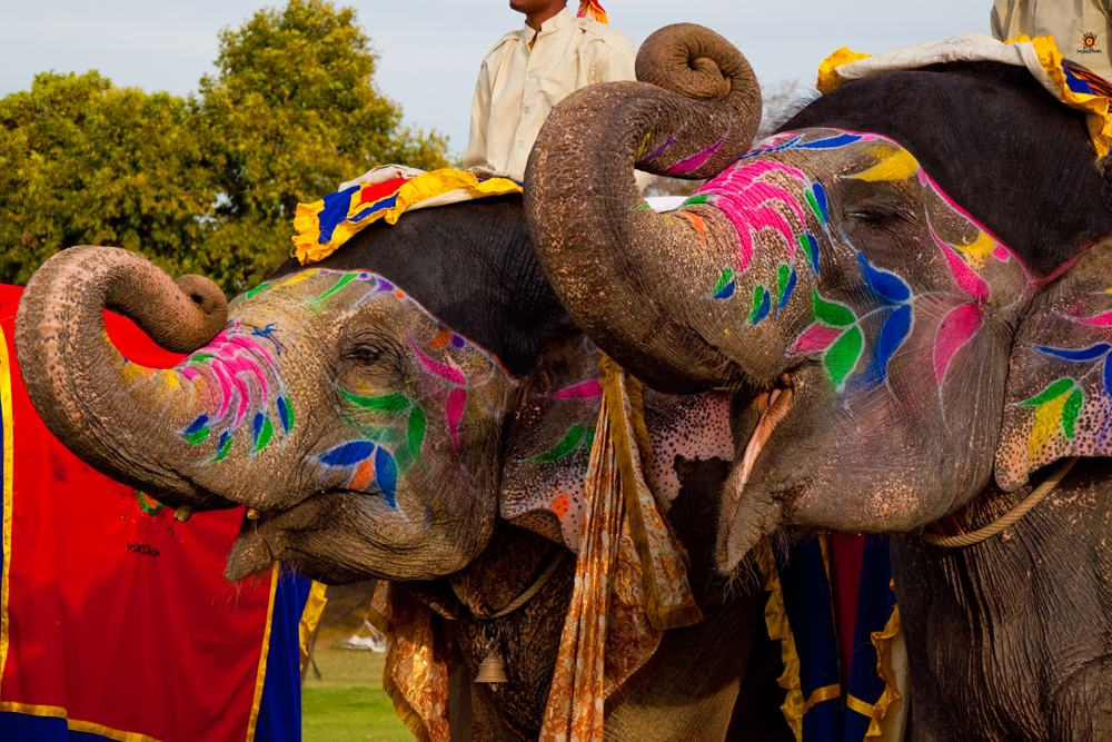Two painted elephants during the festival of Holi, Jaipur, India