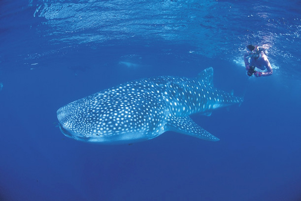 Snorkelling with a whale shark in the Ningaloo Marine Park, Australia - Tourism Western Australia