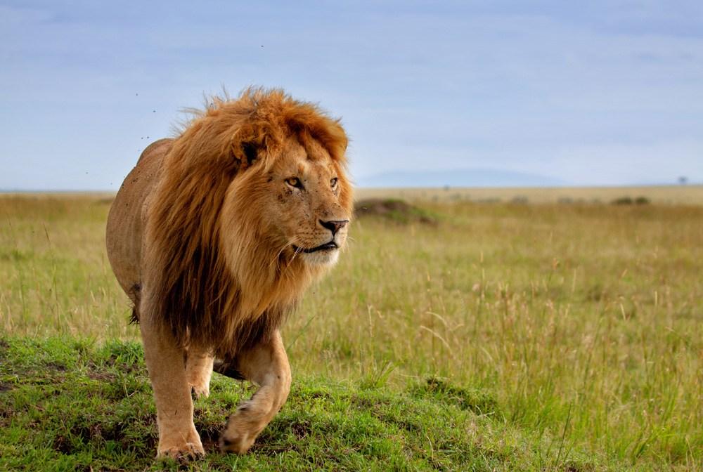 Beautiful lion in Masai Mara, Kenya