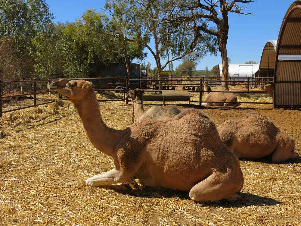 Camels relaxing in a camel farm, Alice Springs, Northern Territory, Australia