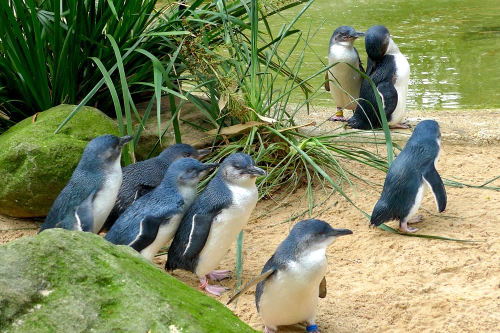 Cute fairy penguins on Phillip Island, Australia