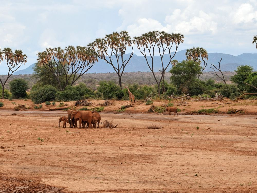 Herd of elephants at a dry river bed of Ewaso Nyiro River, Samburu National Reserve, Kenya