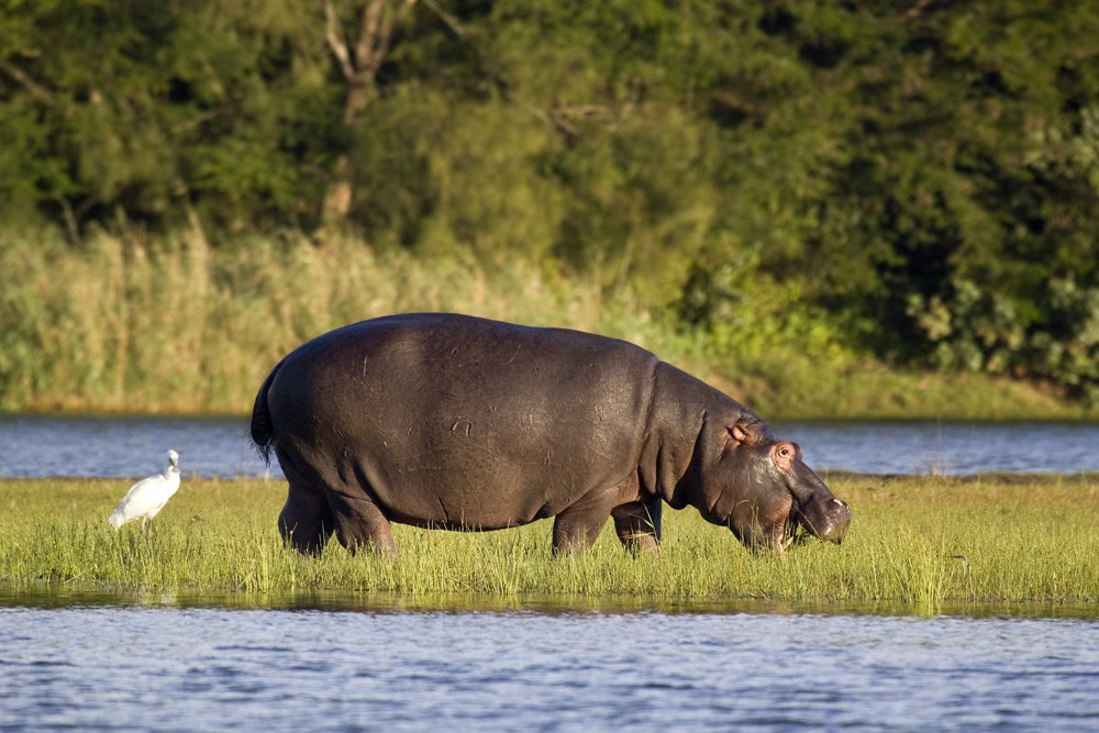 Hippo feeding out of water, St Lucia Wetlands (Isimangaliso Wetland Park), South Africa